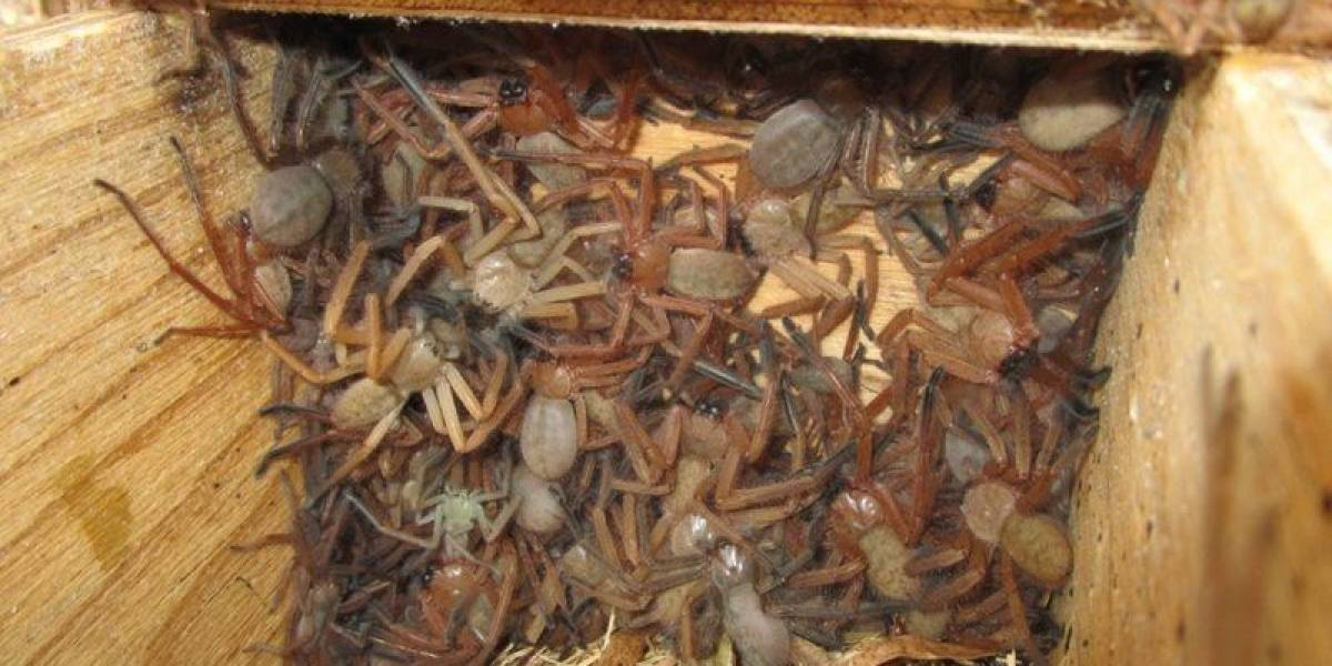 La aterradora imagen se convirtió en viral: el espeluznante hallazgo de arañas gigantes al interior de un cajón que desconcierta a los científicos
