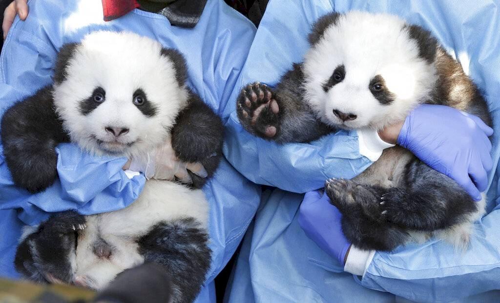 Pandas zoológico de Berlín