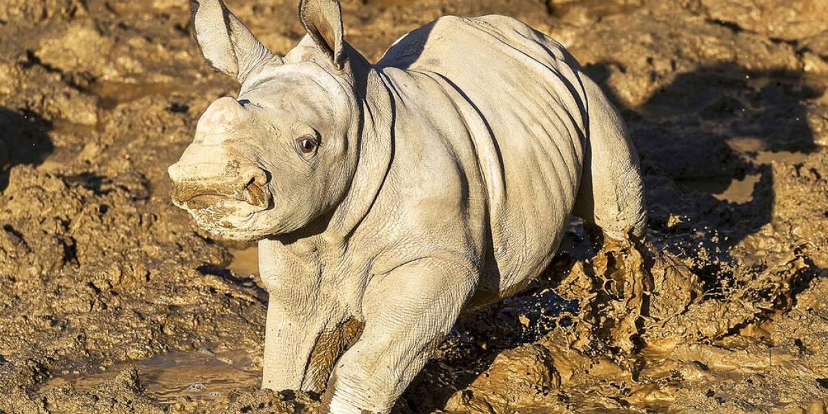 """Nombran """"Future"""" a rinoceronta blanca nacida en San Diego"""