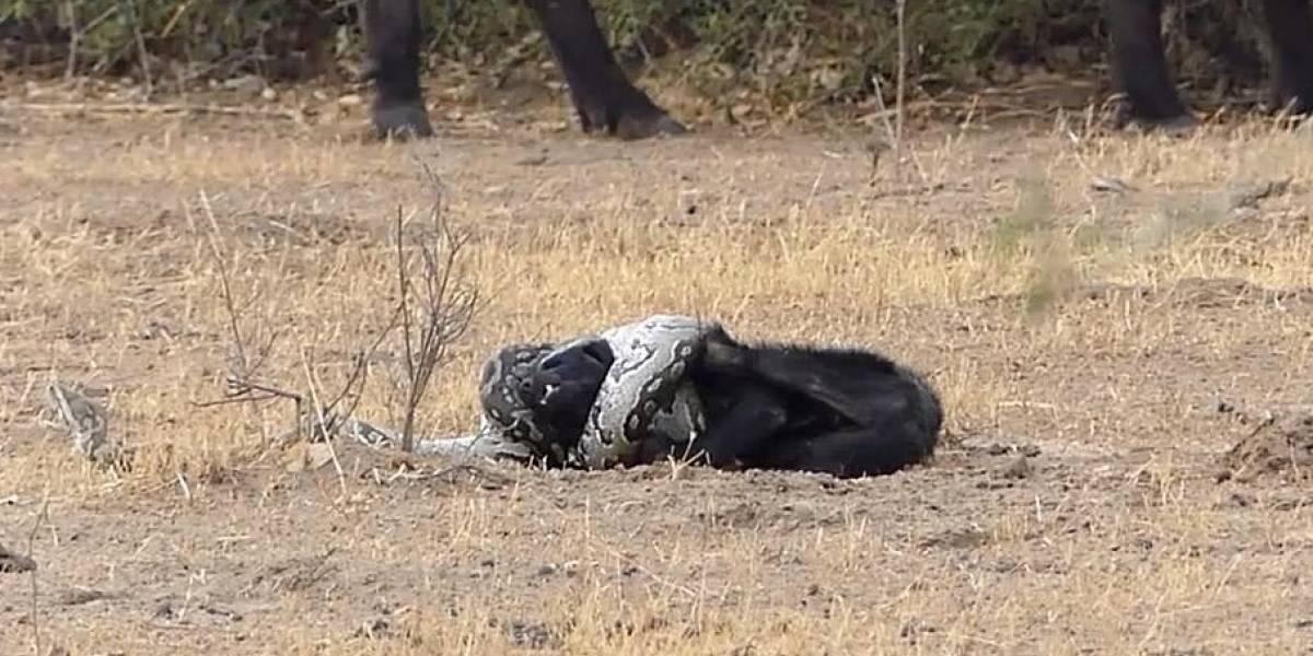 VÍDEO: Animal escapa de ataque fatal de píton após ser ajudado por 'amigos'