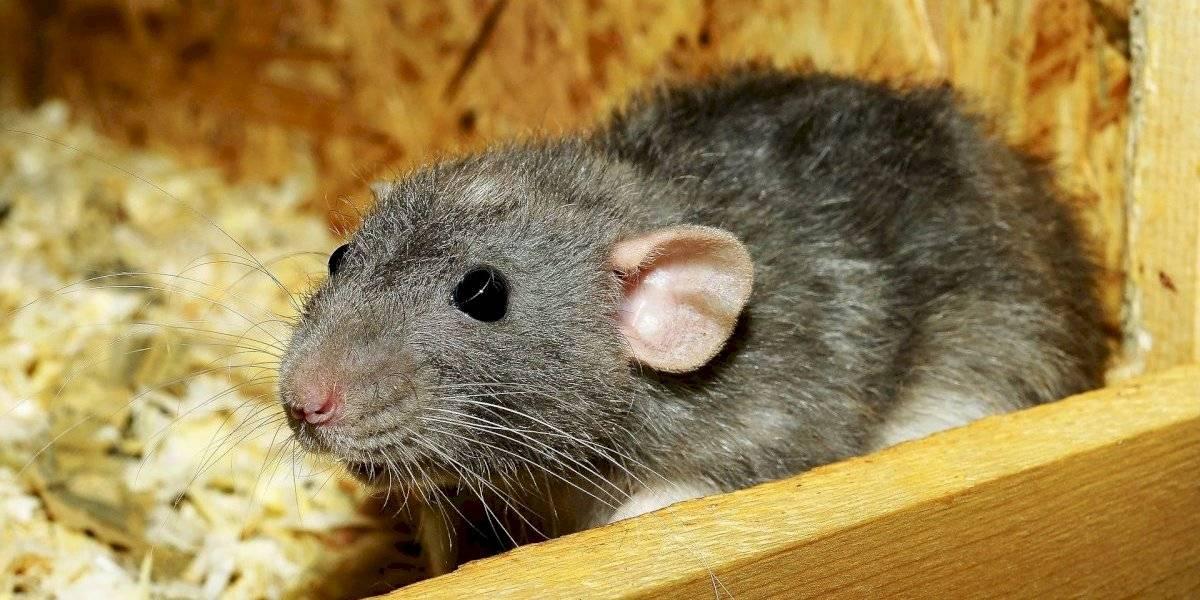 Ratos lutadores: uma briga por comida nos porões do metrô de Londres pode ser a vencedora do Prêmio de Melhor Foto de Vida Selvagem de 2019