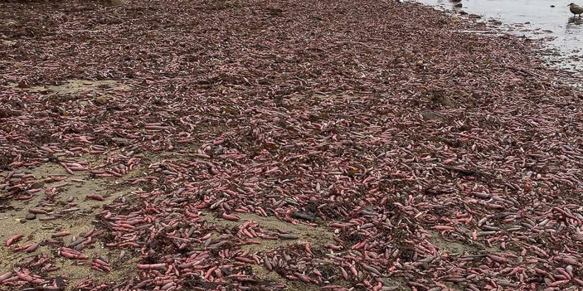 Miles de 'peces pene' aparecen a orillas de una playa de California