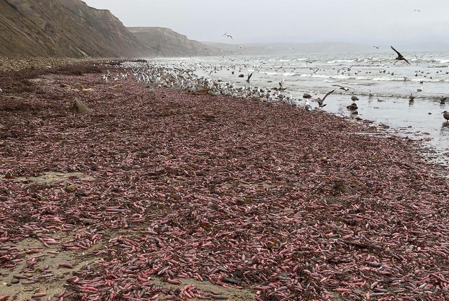peces pene playa california