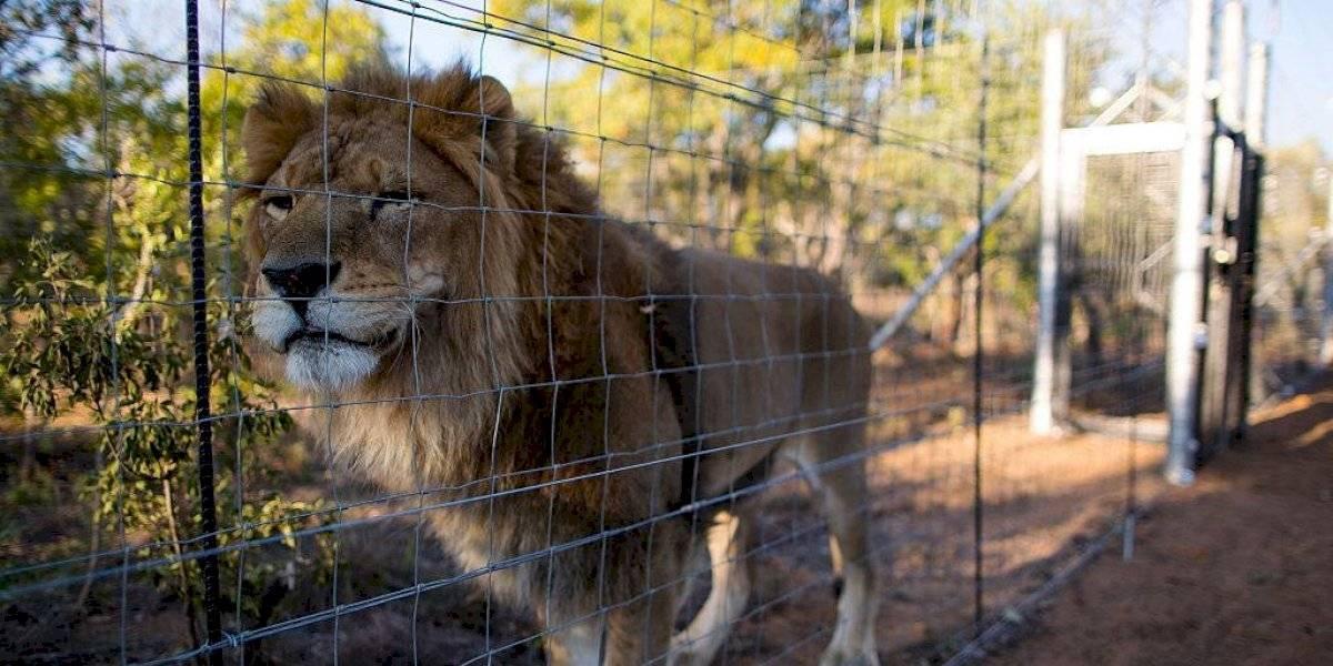 León se escapó de parque nacional y se comió a una persona