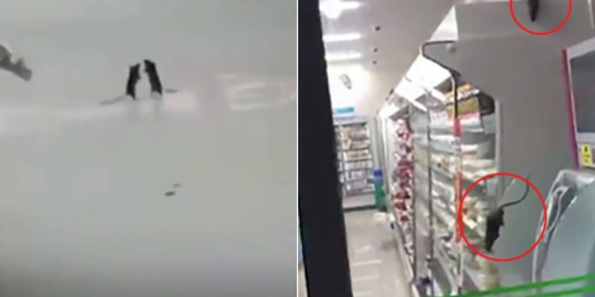 Vídeo de ratos 'fazendo a festa' em supermercado durante a noite se torna viral e estabelecimento é fechado