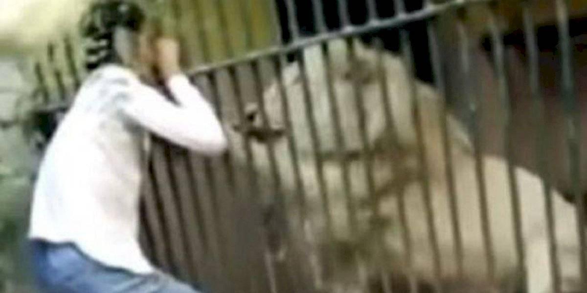 Vídeo viral mostra momento em que leão branco ataca funcionário de zoológico