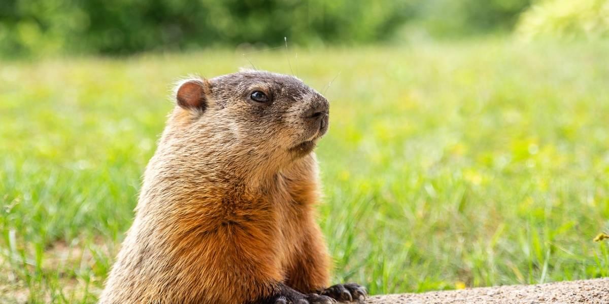 Encontro hilário de marmota com raposa vence prêmio em concurso de fotos sobre a vida selvagem