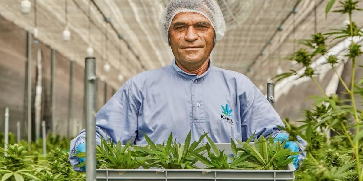 Así va la industria del cannabis medicinal en el país