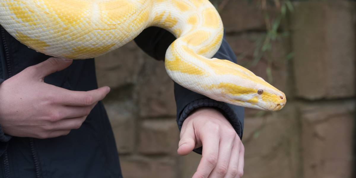 ¡De no creer! Hombre tenía una pitón albina de cuatro metros como mascota