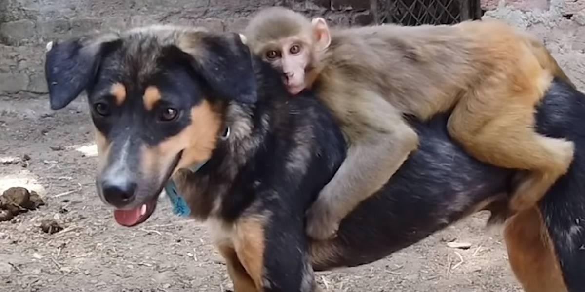 VÍDEO: macaquinho sem braço pega carona com seu melhor amigo, um cachorro, para ir a todos os lados