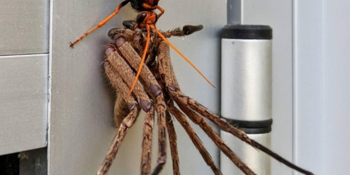 Es cómo salido de una pesadilla: la aterradora foto de una enorme avispa a punto de devorar una araña gigante que se transformó en viral