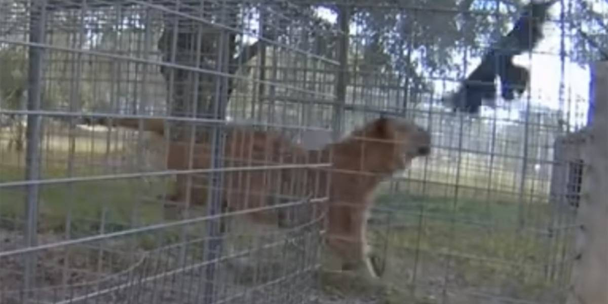 Vídeo mostra como corvo ganha batalha contra tigre com artimanha