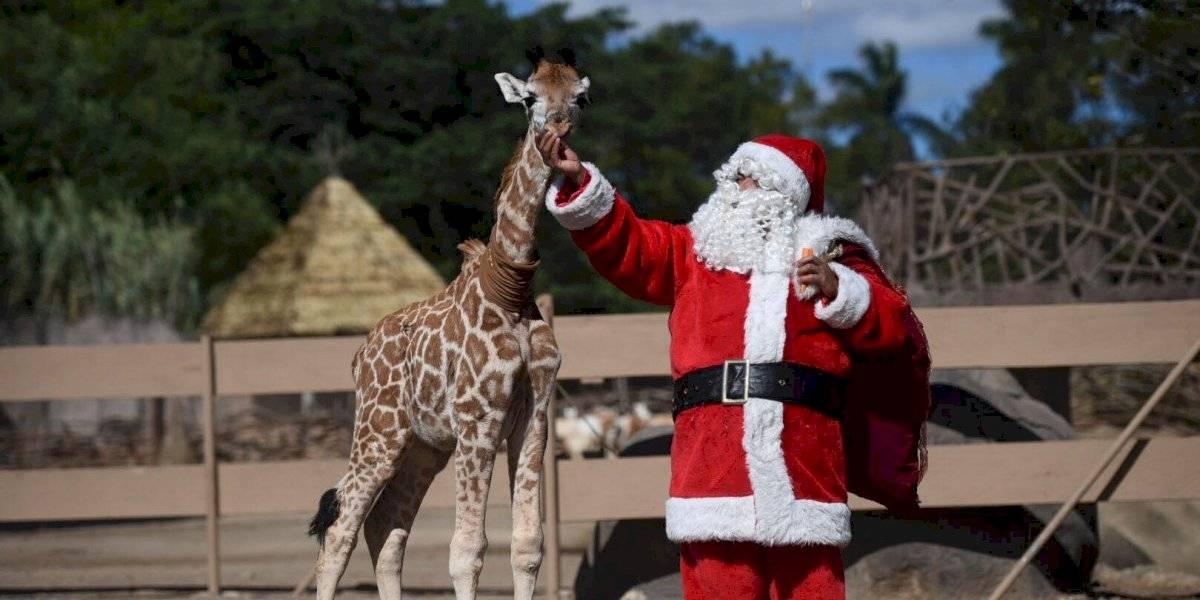 ¡Llegó la Navidad al Zoo! Leones, jirafas y demás inquilinos reciben regalos