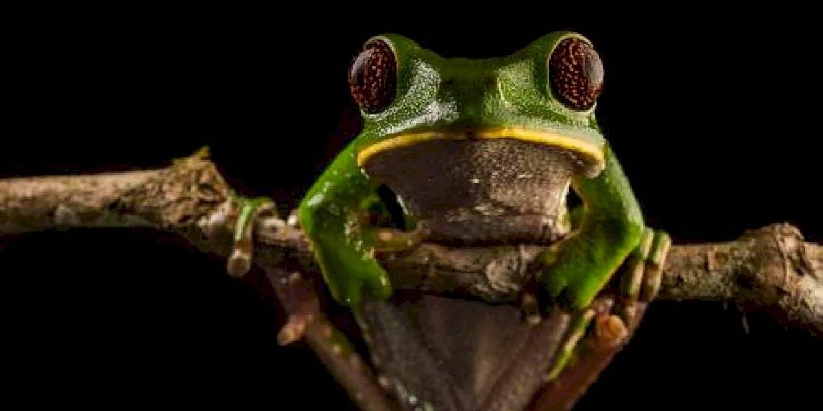Tres especies de ranas ecuatorianas, amenazadas por crisis climática