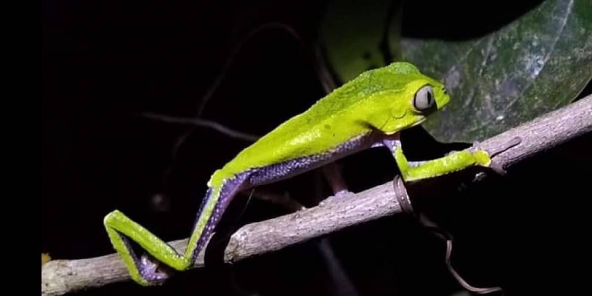 Una extraña rana que se creía extinta se encontró en Brasil
