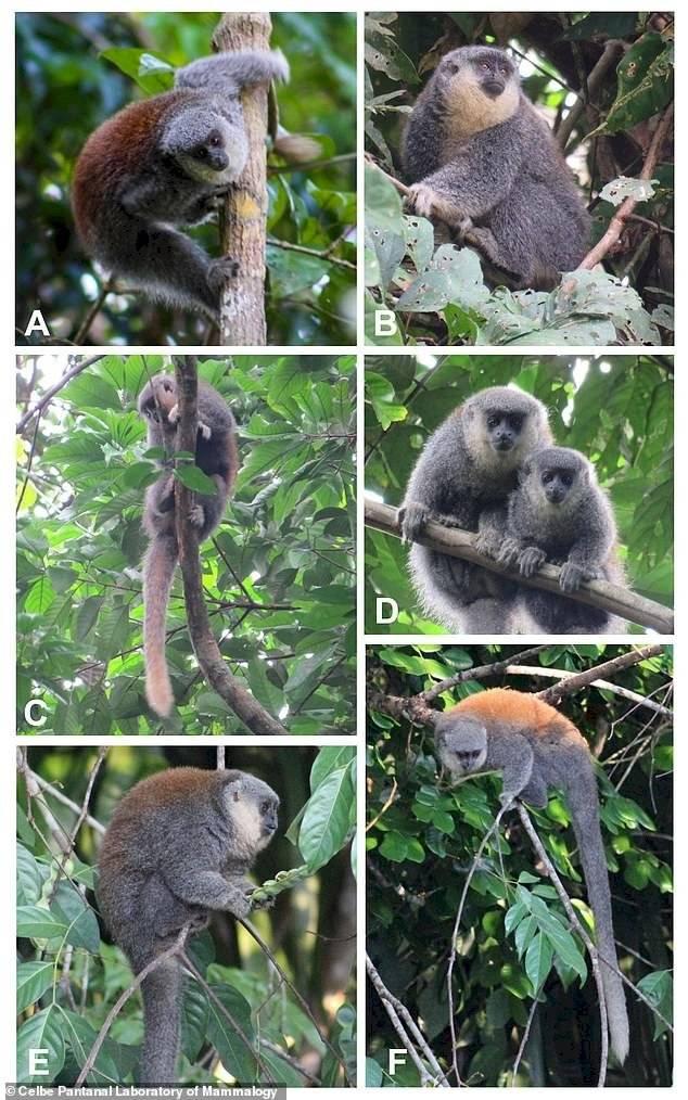 """Científicos descubren nueva especie de """"mono titi"""" en Brasil"""