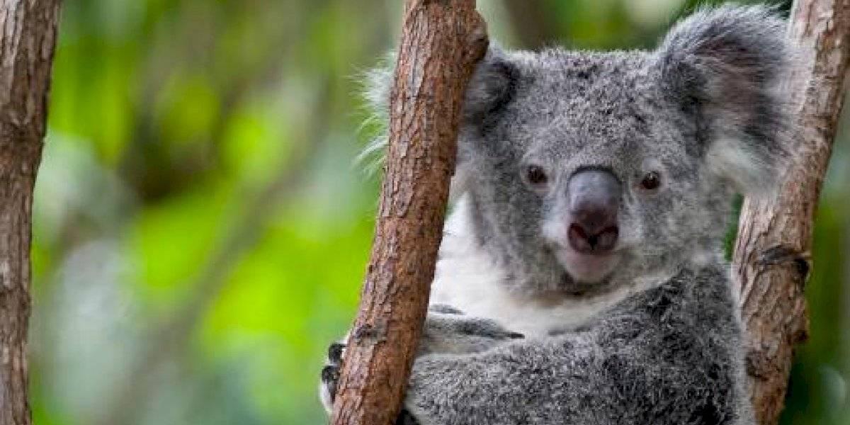 ¡Digno de aplaudir! Bomberos australianos rescataron a koalas de incendios forestales