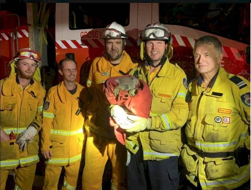 Koalas rescatados en Australia