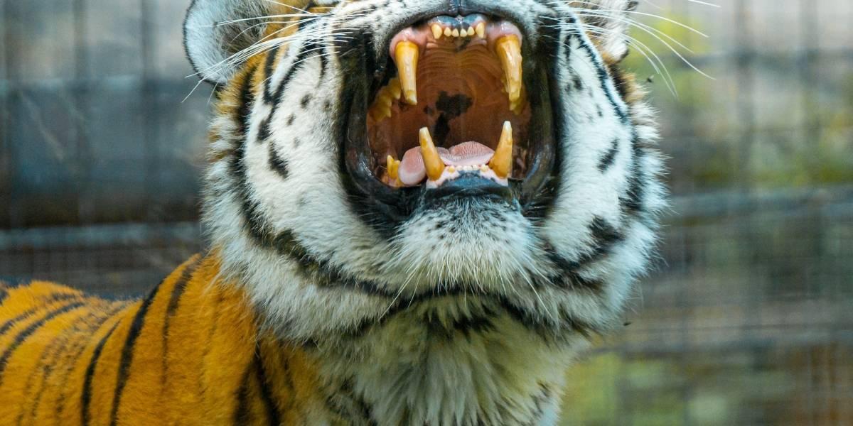 VÍDEO: Jovem sobrevive após ataque de tigre em zoológico que se tornou viral nas redes sociais