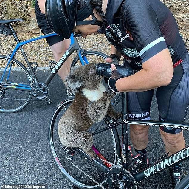 Koala detiene a ciclista para pedirle agua debido a las altas temperaturas