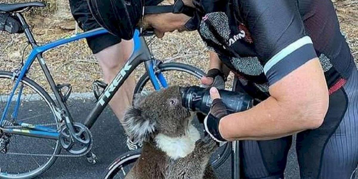 """""""Ninguno de nosotros había visto algo así jamás"""": koala se negó a morir de calor y logró detener a ciclista para exigirle agua"""