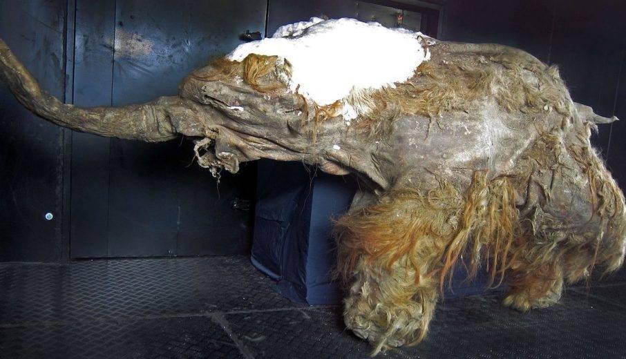 Científicos logran activar células de Mamut lanudo de 28 mil años de antigüedad