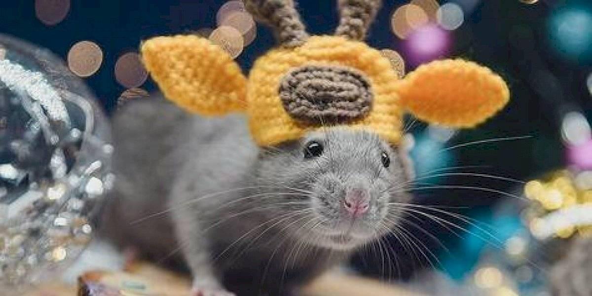 Las ratas están listas para el Año Nuevo
