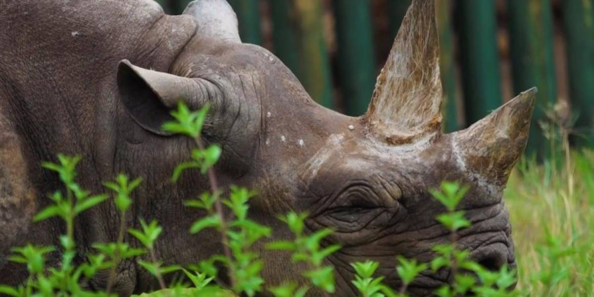 Murió Fausta, la rinoceronte más vieja del mundo