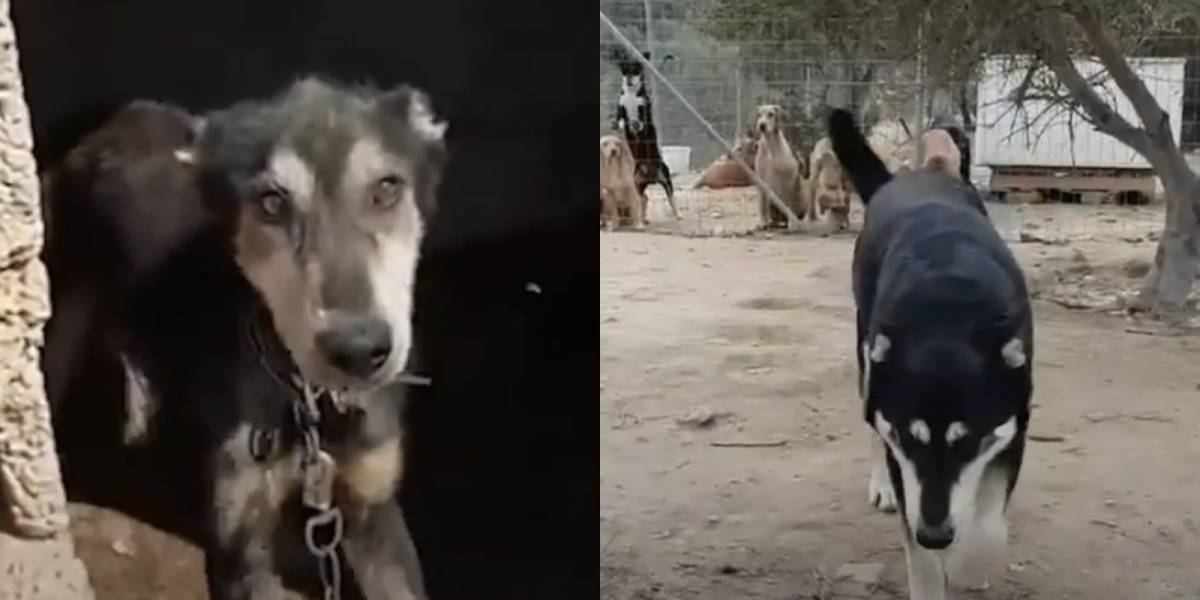 VÍDEO: Cachorro é resgatado e, depois de passar por terapia intensiva, pesa mais de 50 quilos e se transforma em cão completamente distinto