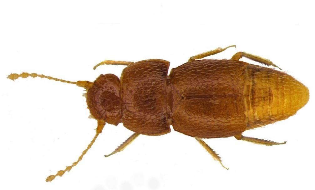 escarabajo Greta