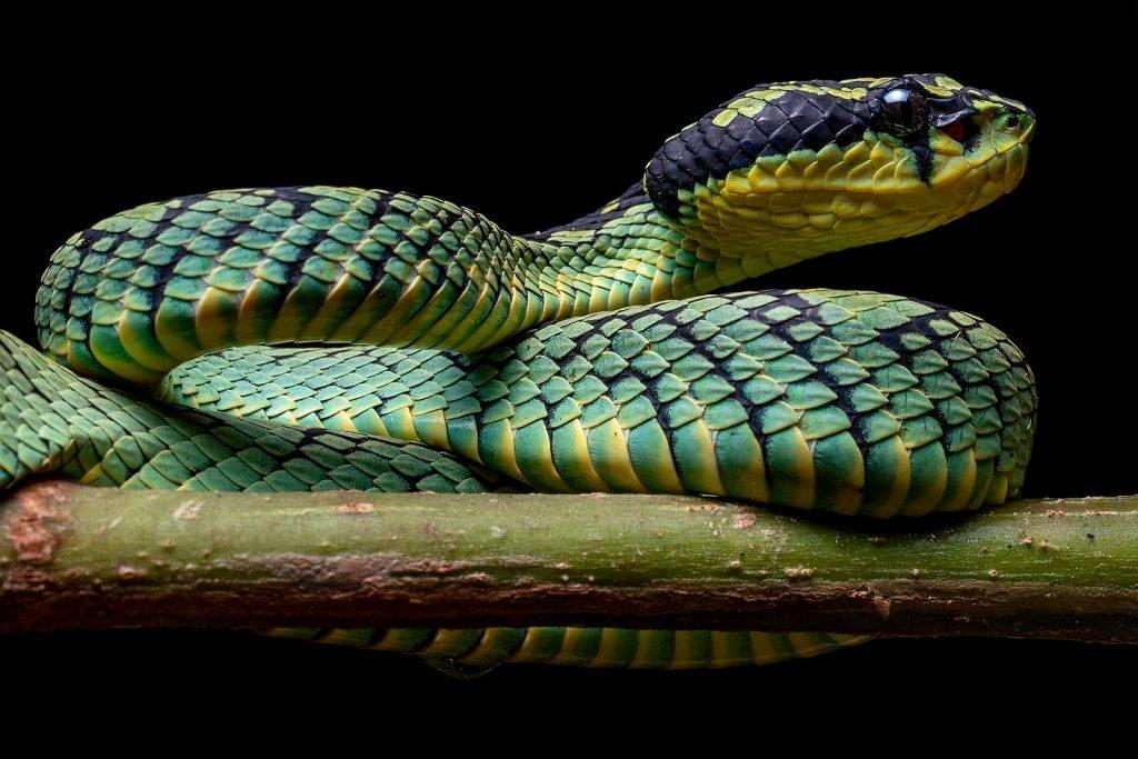 serpiente roja Trimeresurus