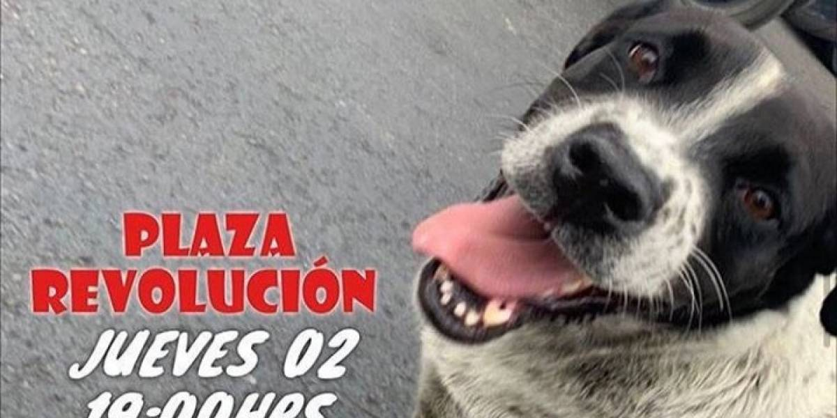 """Antofagastinos realizan """"marcha falsa"""" para que perro herido por perdigones camine hacia el veterinario"""