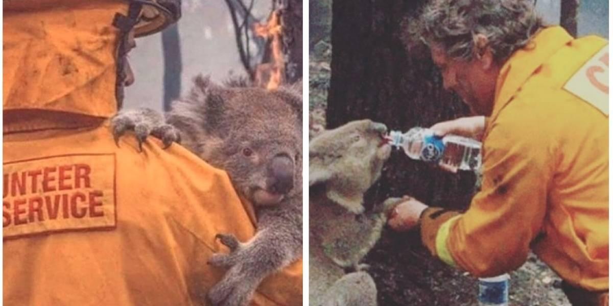 VIDEO. Koala suplica más agua a los bomberos tras huir de las llamas en Australia