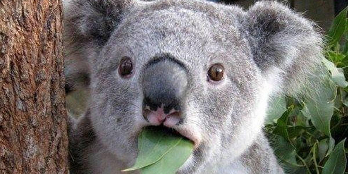 ¿Qué significa que los Koalas estén funcionalmente extintos?