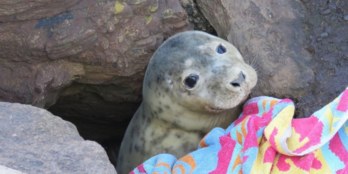 Foca é encontrada presa em rochas; fotos mostram que ela estava apenas esperando um resgate