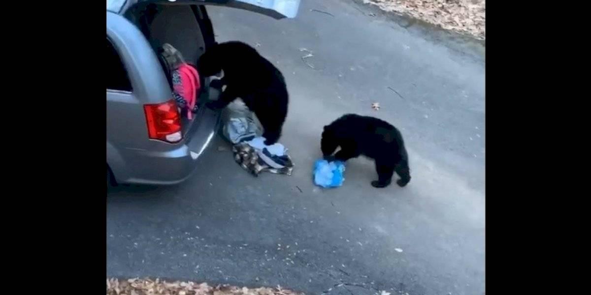 VÍDEO: Gangue de ursos 'assalta' carro para conseguir comida