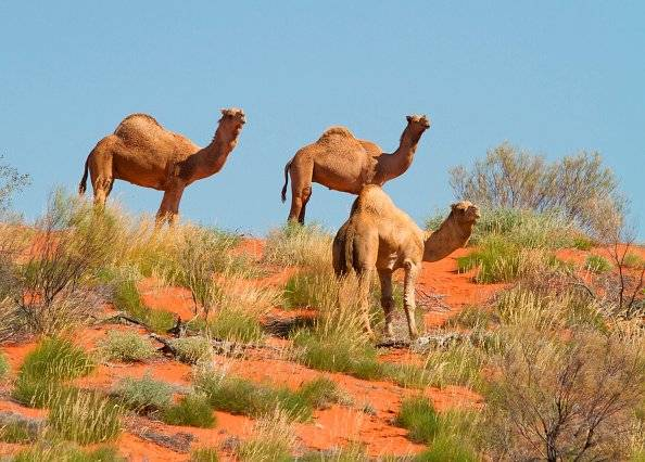 Camellos salvajes