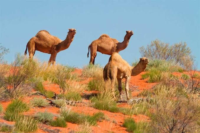 Australia Camellos