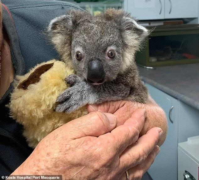 Australia Koala Keli