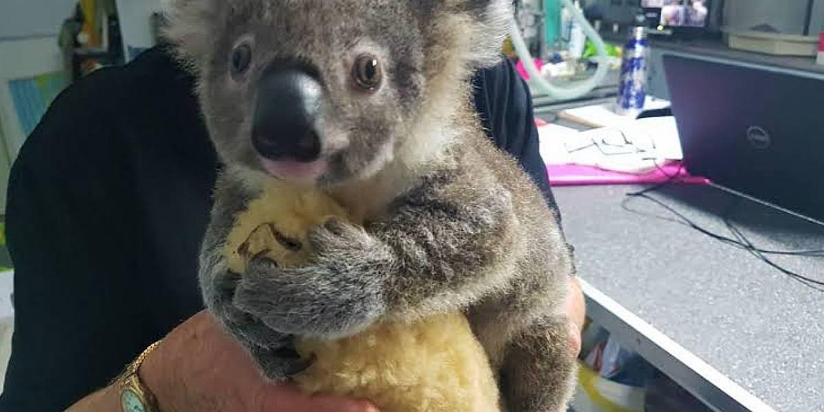 Australia: El Koala Keli se encuentra estable después de ser rescatado de los incendios