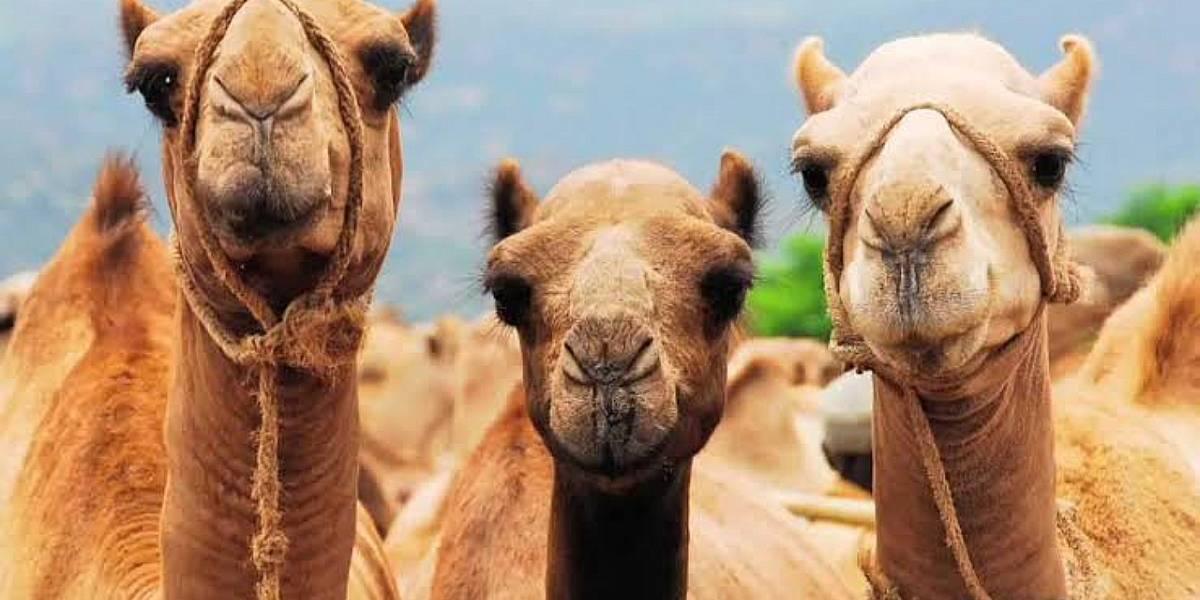 Australia: Matarán a 10 mil camellos salvajes por falta de agua