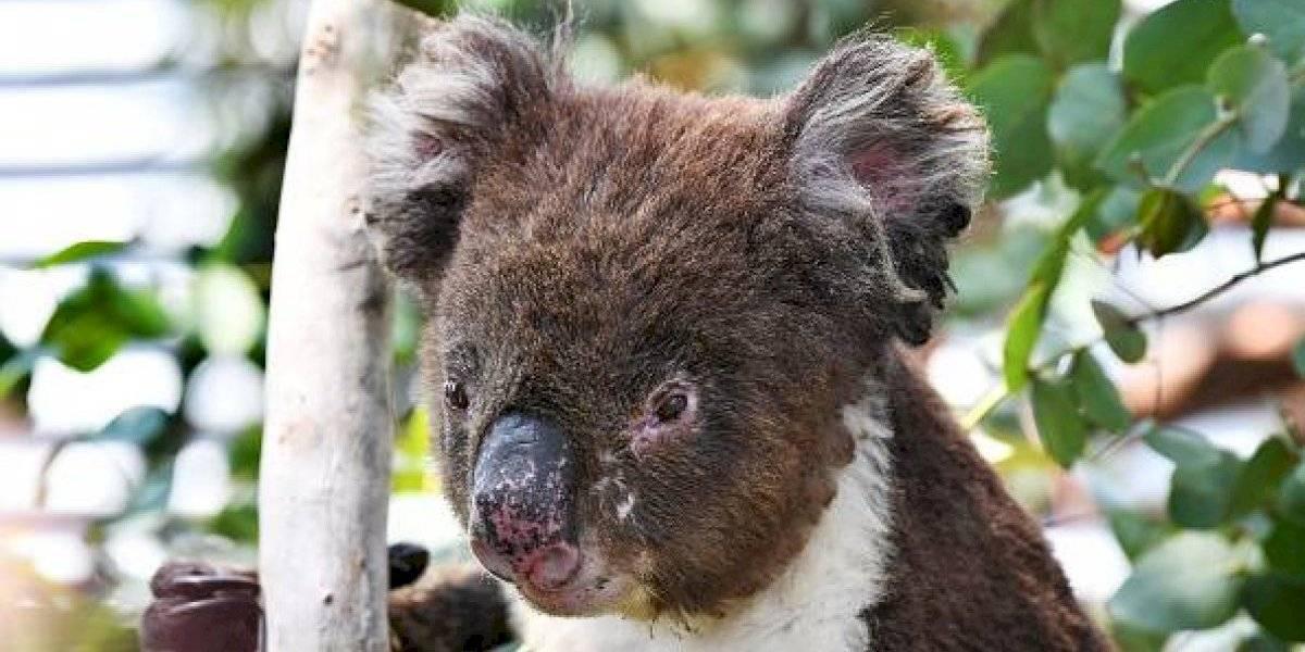 El futuro de los canguros y koalas genera gran preocupación: incendios en Australia dejan mil millones de animales muertos y acercan a algunos a la extinción