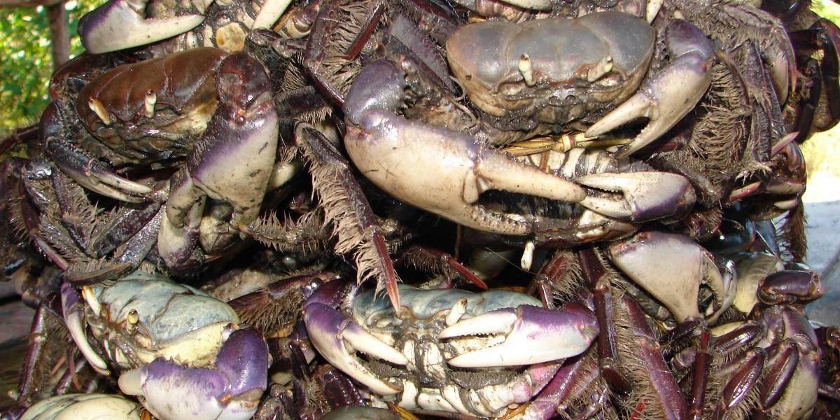 Captura do caranguejo-uçá estará proibida a partir de sábado