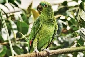 Papagaio quase faz dono ser preso por imitar voz feminina gritando: 'Me deixe sair'