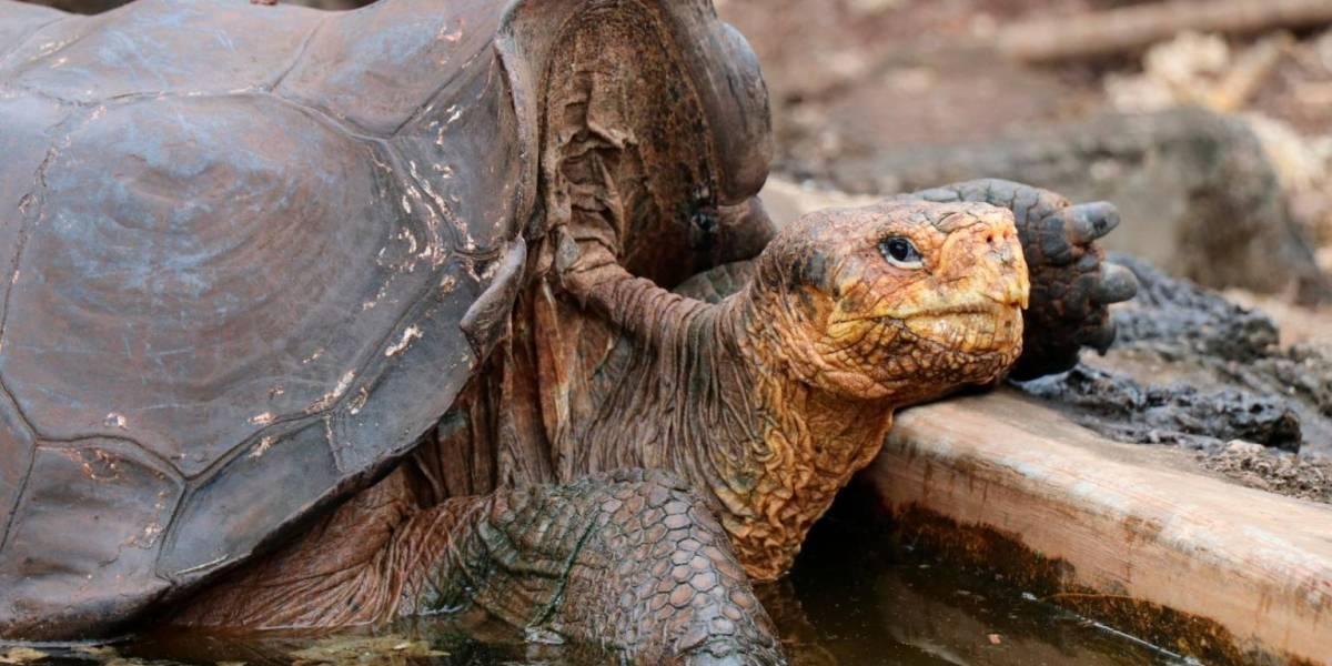 """Una tortuga """"playboy"""" pudo salvar a toda una especie, luego de ser padre de 1.000 crías"""
