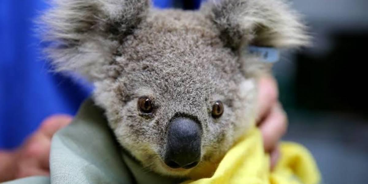¿Cuántos koalas quedan en Australia después de los incendios?