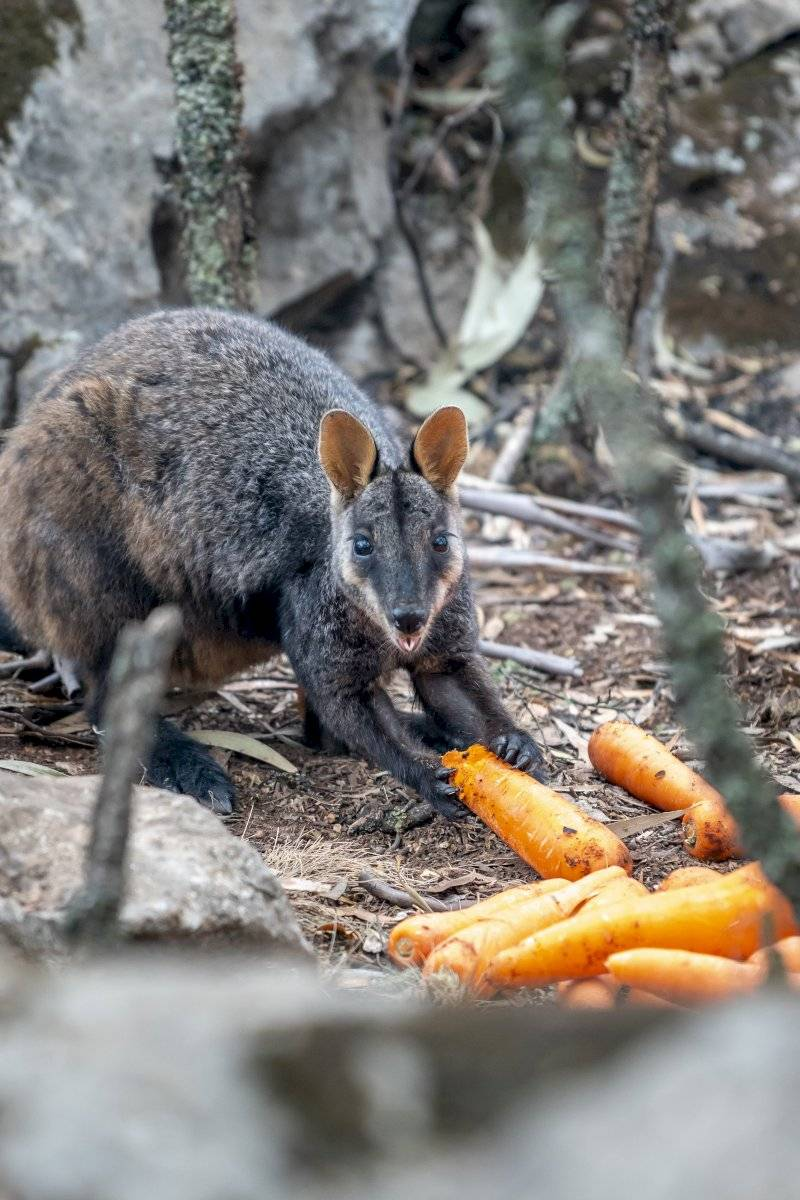 Incendios Australia: lanzan comida desde helicópteros para animales afectados