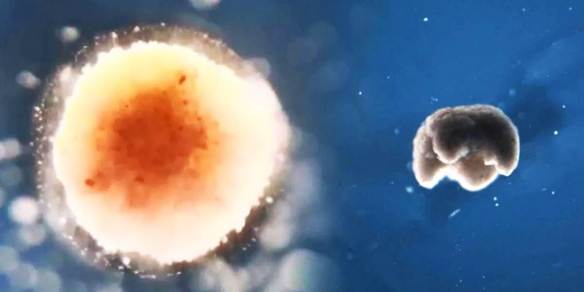 Científicos lograron crear los primeros biobots con células de rana y podrían detectar tumores