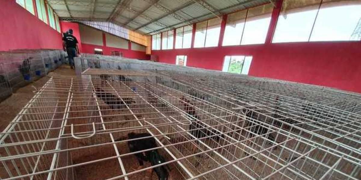 Galpão em São Paulo criava mais de mil galos para usar em rinhas