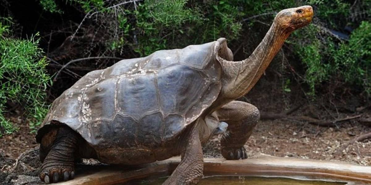 Tartaruga Diego, pai de 800 filhotes, se 'aposenta' após salvar espécie